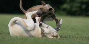 dogs-playing-3.718.360.c