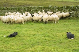 border-collie-and-sheep-8m52d-12